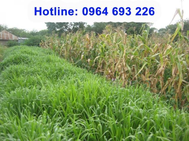 cỏ mulato