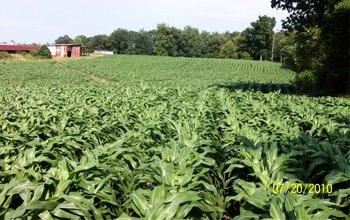 cỏ chăn nuôi