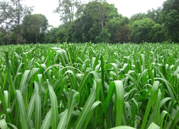 cỏ sả lá lớn mombasa ghine