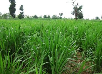 cỏ mulato 2