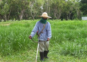 giống cỏ chịu ngập úng ubon paspalum