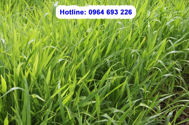 giống cỏ chịu dẫm đạp brachiaria Ruziziensis