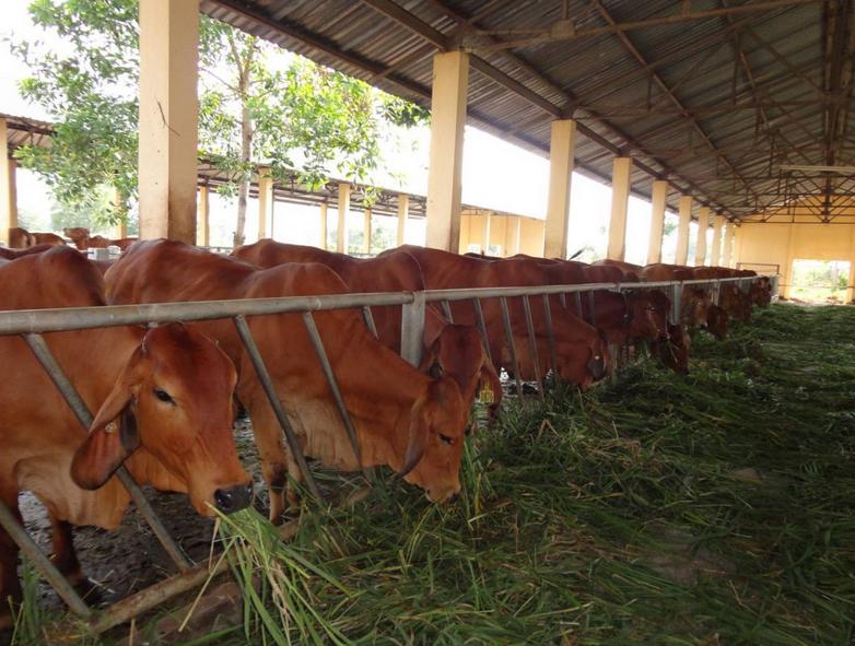 Nên cho bò ăn loại thức ăn thô xanh vào thời gian đầu