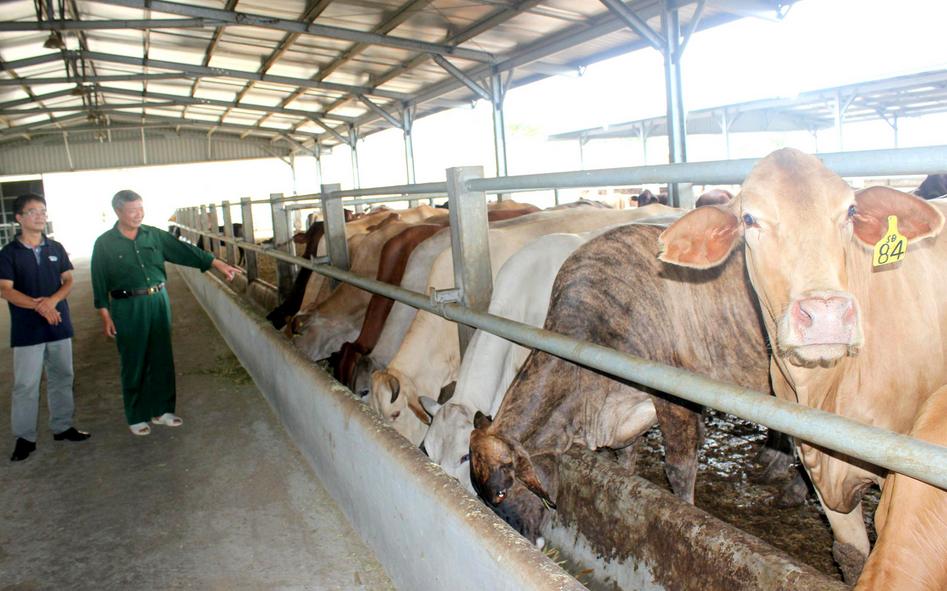 Việc chăm sóc nuôi dưỡng là yếu tố rất quan trọng giúp đàn bò phát triển nhanh