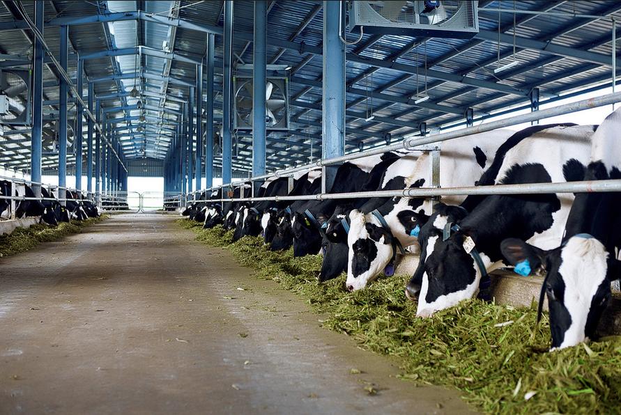 Chế độ ăn cho bò