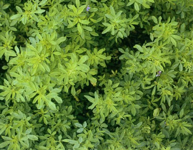 Nguồn gốc cỏ Alfalfa