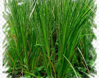Tìm hiểu về cỏ vetiver